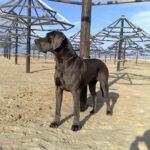 Zucht Dogge Blau und Schwarze Große Gefährliche Traum. Welpen Deutsche Dogge Blau Schwarz