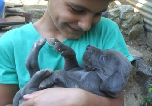 Cría Gran Danés azul y negros Gran Sueño peligroso. Los cachorros Gran Danés Azul Negro