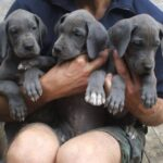 Still some Blue Female greatdane puppies available