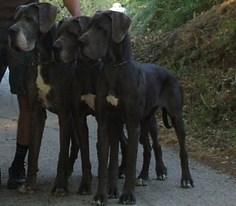 Breeding Great Danes Blue and Blacks Great Dangerous Dream. Cuccioli Line Blue Nero
