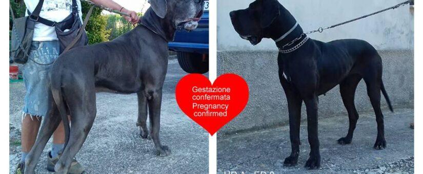 Cachorros proximamente. Embarazo confirmado