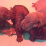 Great Dane puppies available Blue and Blacks