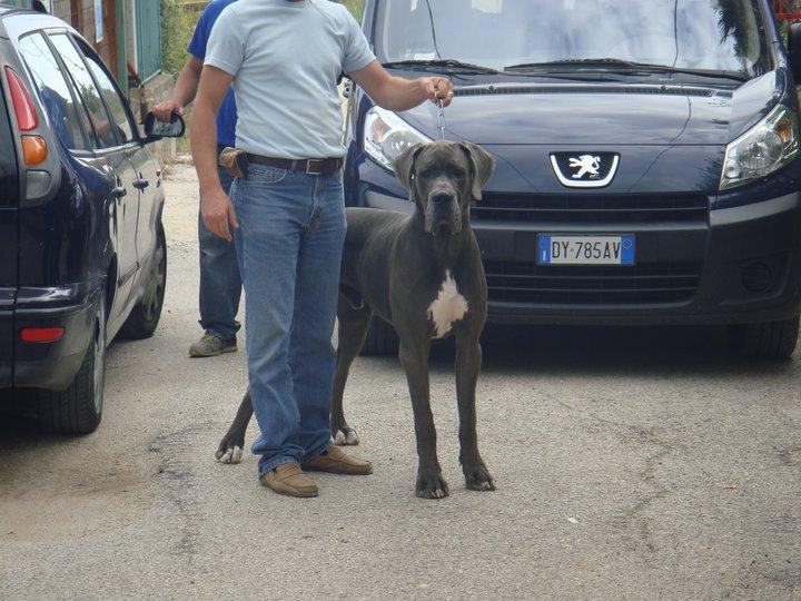 Elevage Dogues Bleu et Noirs grand rêve Dangerous. Chiots Dogue Allemand Bleu Noir