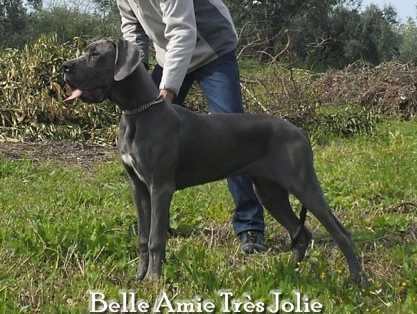 Elevage Dogues Bleu et Noirs grand rêve Dangerous. Chiots Dogue Allemand bleu et Noirs