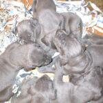 Cuccioli di Alano Blu e Nero in arrivo
