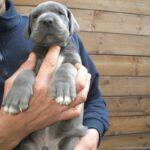 Cría Gran Danés azul y negros Gran Sueño peligroso. Los cachorros Gran Dane Black y Azul