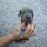 Cría Gran Danés azul y negros Gran Sueño peligroso. Cachorros Gran Danés azul y negros