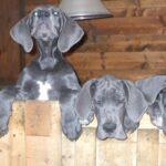 Camada H – Cachorros gran danés azul