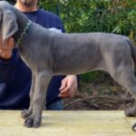 Blue Great Dane Puppies Advert