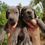 Camada K – Cachorros gran danés azul