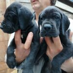 Litter L. – Puppies Great Dane Blue and Black