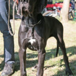 Cría Gran Danés azul y negros Gran Sueño peligroso. Los cachorros Gran Danés azul y negro