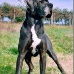 Elevage Dogues Bleu et Noirs grand rêve Dangerous. Chiots Dogue Allemand noir et bleu