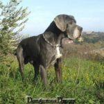 Elevage Dogues Bleu et Noirs grand rêve Dangerous. Chiots Dogue Allemand bleu et noir.