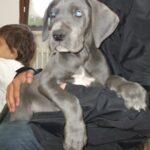 Cría Gran Danés azul y negros Gran Sueño peligroso. Los cachorros Gran Danés azul y negro.