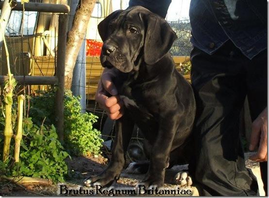 Zucht Dogge Blau und Schwarze Große Gefährliche Traum. Welpen Deutsche Dogge Blau und Schwarz.