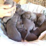 Litter A – Blue great Dane puppies