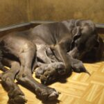 Breeding Great Danes Blue and Blacks Great Dangerous Dream. Puppies Great Dane Blue and Black.