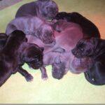 Cucciolata B – Cuccioli di Alano Blu e Nero