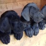 Litter J – Puppies Great Dane Blue and Black