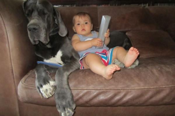 Allevamento Alani Blu e Neri Great Dangerous Dream. Cuccioli Alano Blu e Nero.