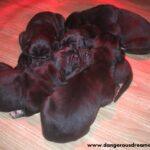 Cucciolata D – Cuccioli di Alano Nero
