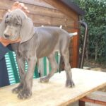 Breeding Great Danes Blue and Blacks Great Dangerous Dream. Puppies Great Dane Blue and Blacks