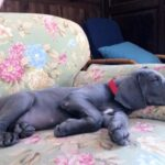 Breeding Great Danes Blue and Blacks Great Dangerous Dream. Puppies Great Dane Blue and Black