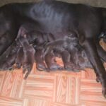 Blue Great Dane puppies available