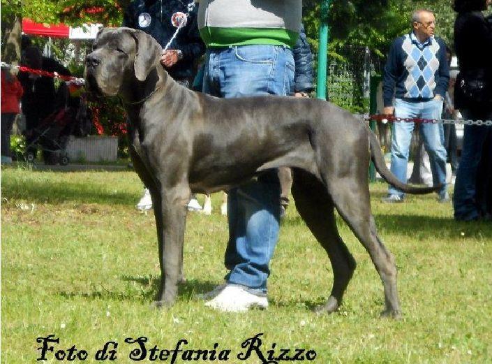Elevage Dogues Bleu et Noirs grand rêve Dangerous. Chiots Dogue Allemand bleu et noir