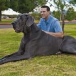 Is the Harlequin Great Dane the largest one?