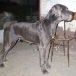 Zucht Dogge Blau und Schwarze Große Gefährliche Traum. Welpen Deutsche Dogge Blau und Schwarz