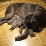Born Blue great Dane puppies!!!