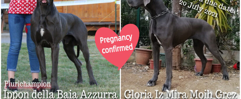 Blue Great Dane puppies on the way