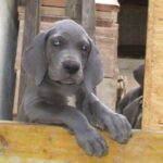 Breeding Great Danes Blue and Blacks Great Dangerous Dream. Puppies Great Dane Black and Blue