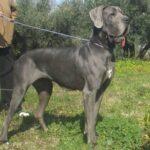 Zucht Dogge Blau und Schwarze Große Gefährliche Traum. Welpen Doggen Blau und Schwarz